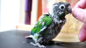 1 month old GC conure