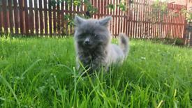 Beautiful grey half ragdoll half british longhair kitten