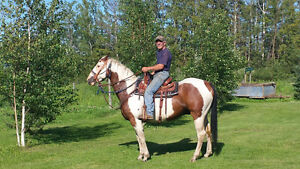 Paint Gelding 9 yrs old/with saddle