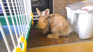 Cute & healthy Lion Head bunnies looking for a new home