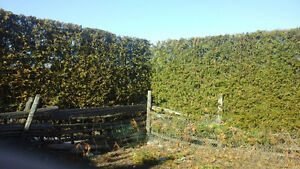 Cedar trees for privacy hedging