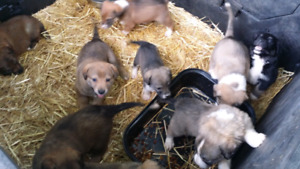 Adorable Husky Border Collie Rottweiler mix puppies for sale!