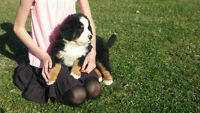 Bernese Mountain Dog Puppies!!  Litter of 9! one left