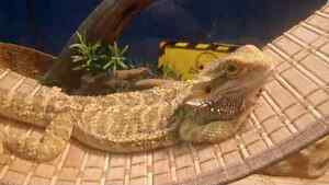 Bearded Dragon and tank.