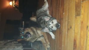 German Shepard and Huskey puppies for sale