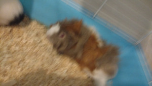 Two young female guinea pigs for sale