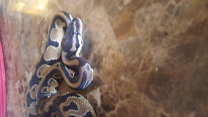 Selling a male baby ball python 60% het for pied