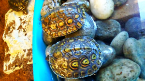 Ornate wood turtle babies