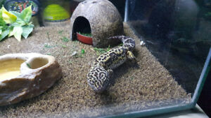 Leopard Gecko and complete setup