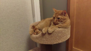 Lost cat. Orange/Ginger, Tigre, Sprayed, Domestic Shorthair