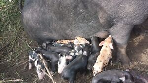 100% organiclly raised pigs