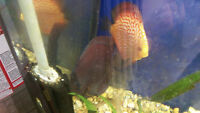 Discus, Angelfish and Food