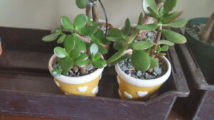 Lively Lucky plants in good pots with hearts on them