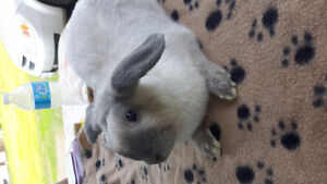 Lop Ear bunny FREE TO GOOD HOME
