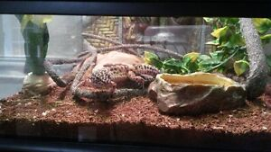 2 year old Leopard Gecko & all accessories as shown