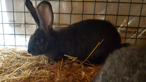 Purebred Pet Quality Flemish Giant Kitts for sale