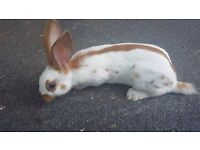 Spotted English rabbit