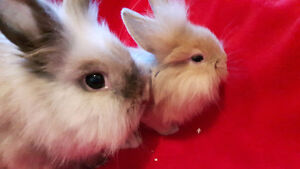 Baby Bunnies Netherland Dwarf/Double Maned Lionhead Holland Lop