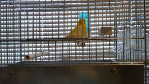 Male yellow canary mix with amerian singer and roller (great mix