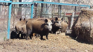 Wild Boar: Live or Killed whole animals, custom meat orders Kingston Kingston Area image 4