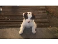 Border collie white and brown boy puppy
