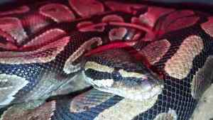 Male and female ball pythons