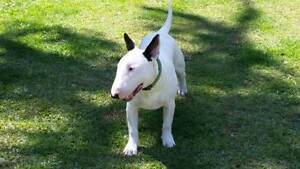 ***WANTED*** WHITE PUREBRED ENGLISH MALE BULL TERRIER black ears Brisbane Region Preview