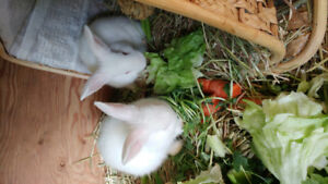 Two white 14 week old bunnies for sale.
