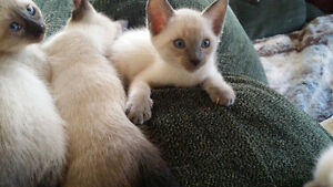 Siamese Babies ready to go to their new homes in almost 2 weeks