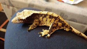 Geckos with cage