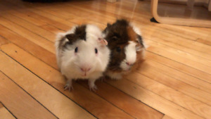 Two male Guinea Pigs looking for a new home, Cochon d'Indes