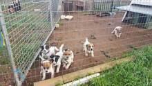 Red Heeler x JR Puppies Shepparton City Preview
