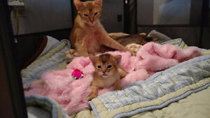 Abyssins chatons de la Chatterie ChAbyMiou!
