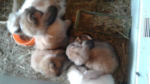 A vendre Bébés lapins bélier nain hollandais
