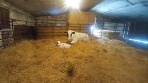 Holstein Bull calf