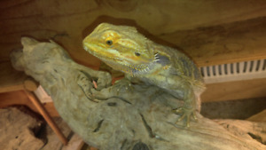Adult Bearded Dragon and Enclosure