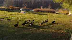 Organic ducks for sale $10 Each. London Ontario image 1
