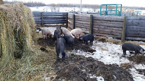 Pigs for sale all different sizes