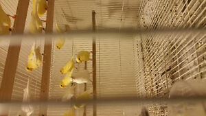 Female canaries