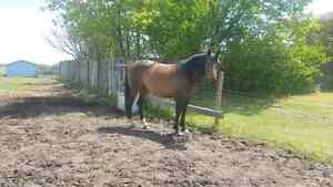 2008 Warmblood mare