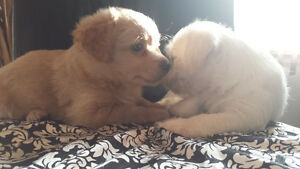 Toy Goldendoodle x puppies BOY ONE LEFT