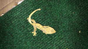 Fancy Crested Gecko's