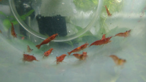 Cherry Shrimp Sale! - 1.50$/ea, or 10 for 10$
