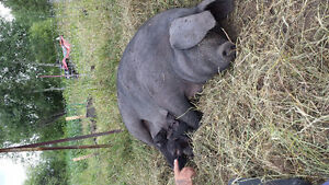 Weaners for Sale