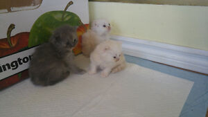 READY TO GO JULY 10TH  PERSIAN KITTENS