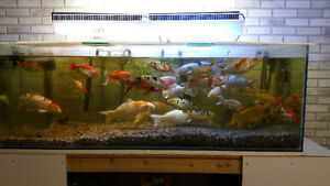 clearing out my fish selection, koi and gold fish