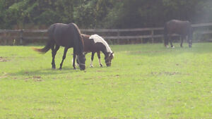 Ponies available for part board and lessons