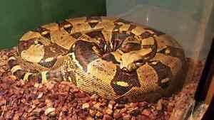 female red tail boa Kitchener / Waterloo Kitchener Area image 3