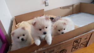 """3 little """"Teddy Bear"""" Pomeranian puppies"""