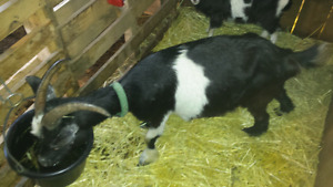 Pygmy crossed with Tennessee fainting goats